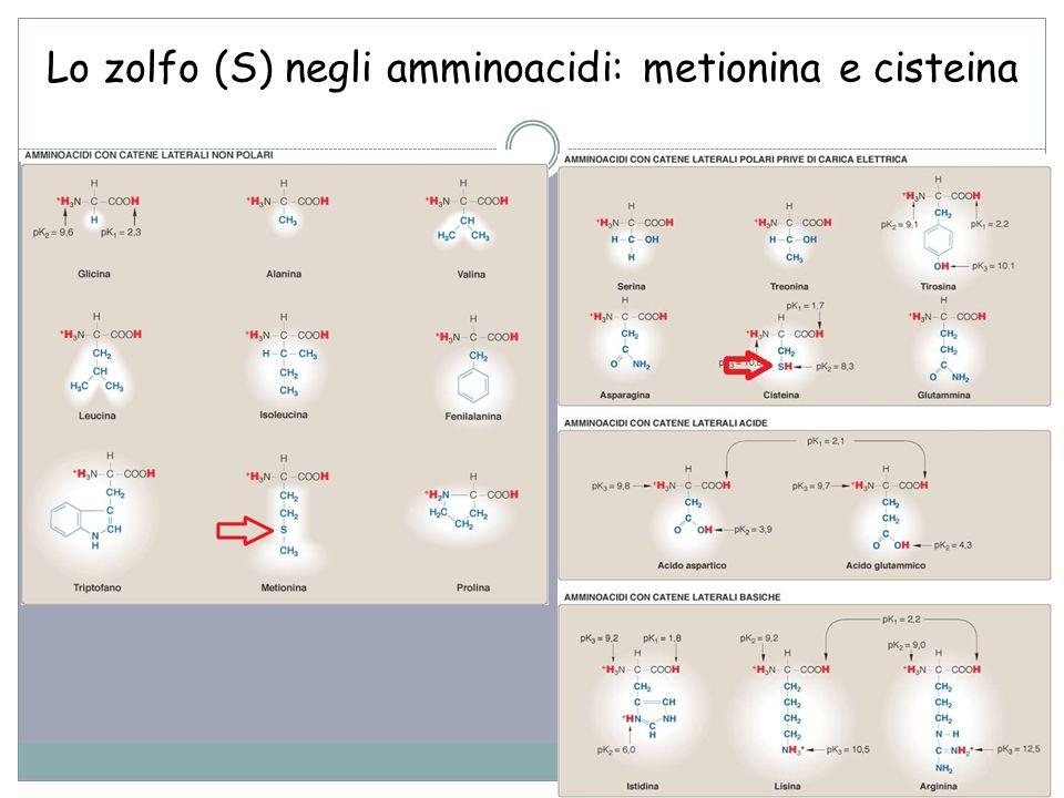 35 Lo zolfo (S) negli amminoacidi: metionina e cisteina