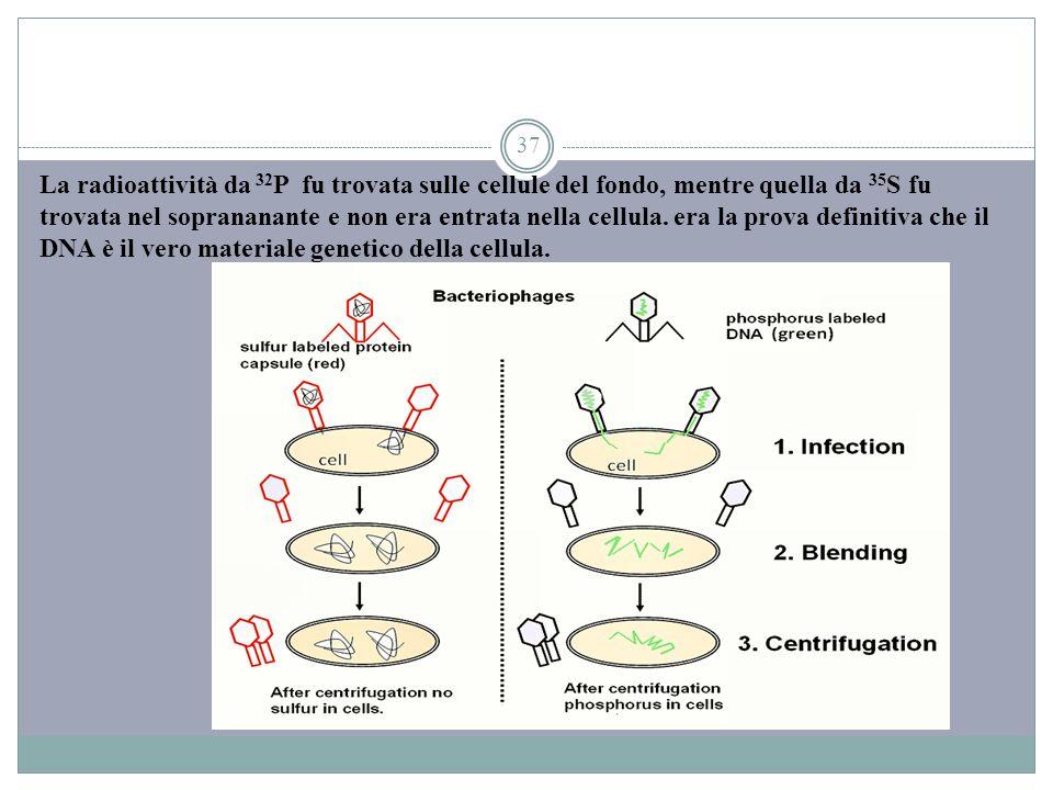37 La radioattività da 32 P fu trovata sulle cellule del fondo, mentre quella da 35 S fu trovata nel soprananante e non era entrata nella cellula. era