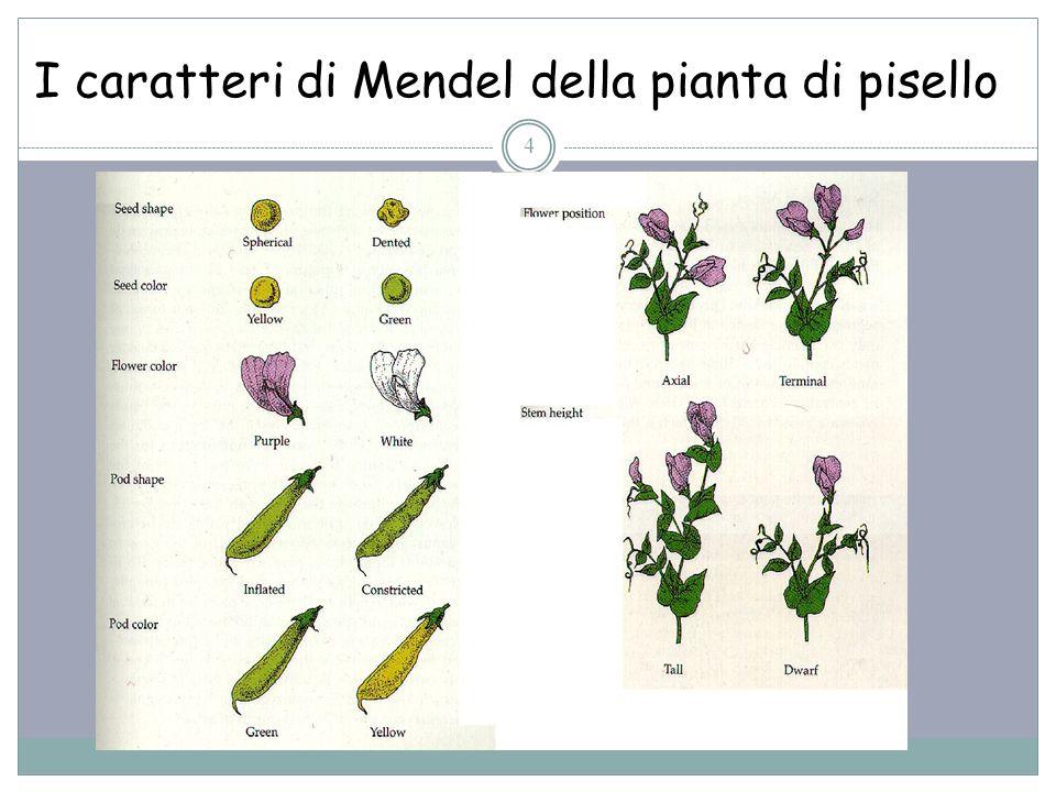 I caratteri di Mendel della pianta di pisello 4