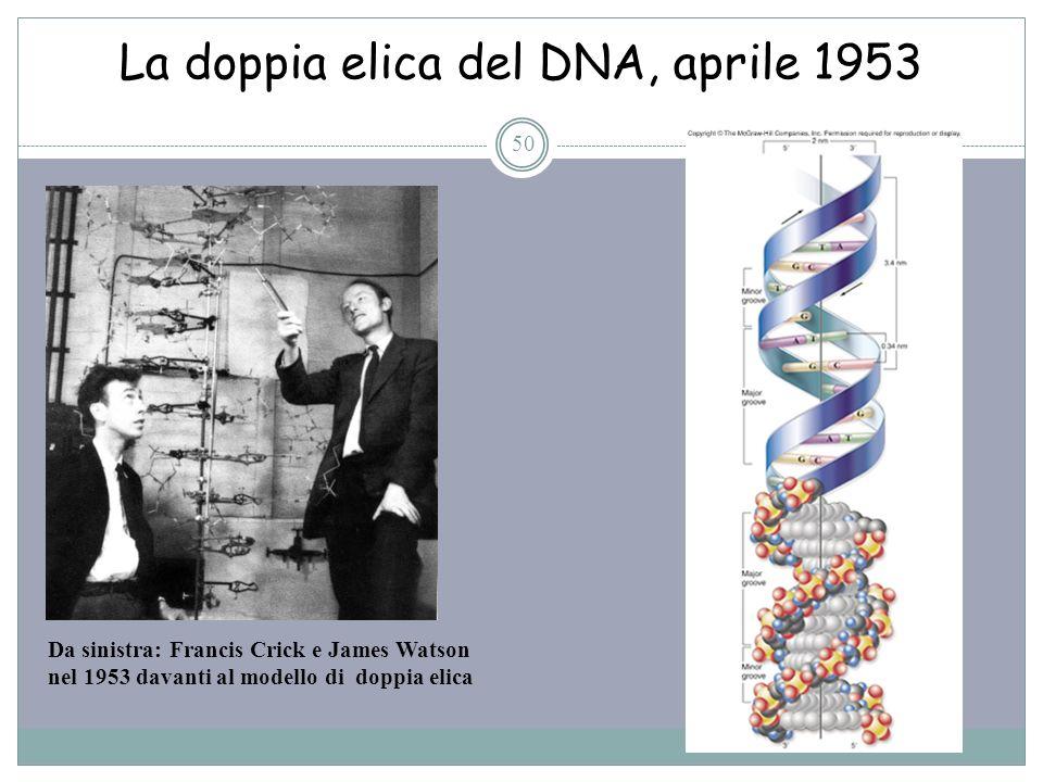 La doppia elica del DNA, aprile 1953 50 Da sinistra: Francis Crick e James Watson nel 1953 davanti al modello di doppia elica