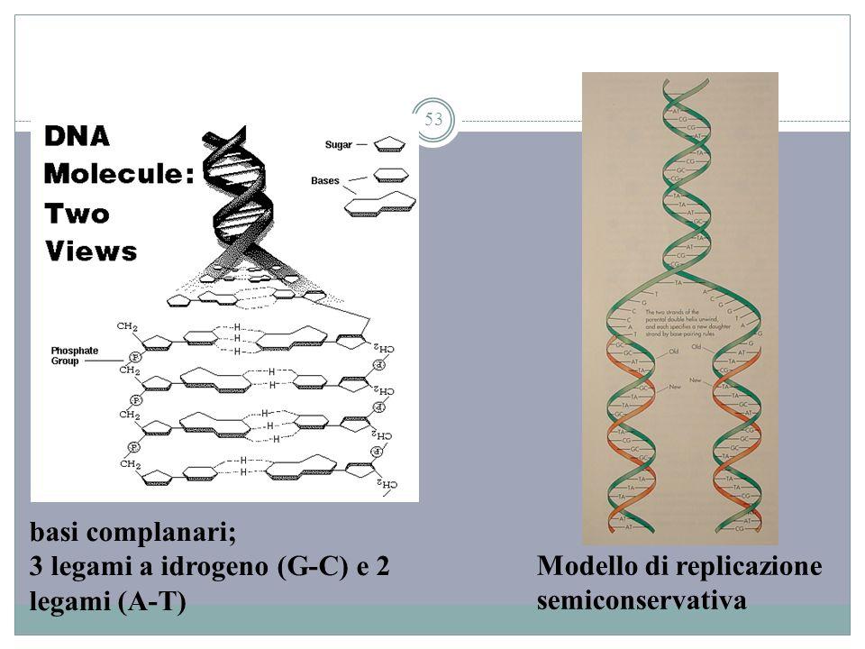 53 basi complanari; 3 legami a idrogeno (G-C) e 2 legami (A-T) Modello di replicazione semiconservativa