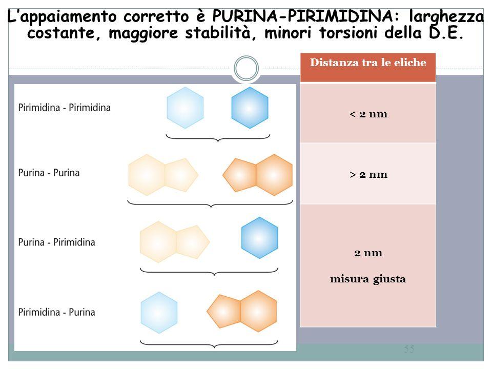 55 Lappaiamento corretto è PURINA-PIRIMIDINA: larghezza costante, maggiore stabilità, minori torsioni della D.E. Distanza tra le eliche < 2 nm > 2 nm