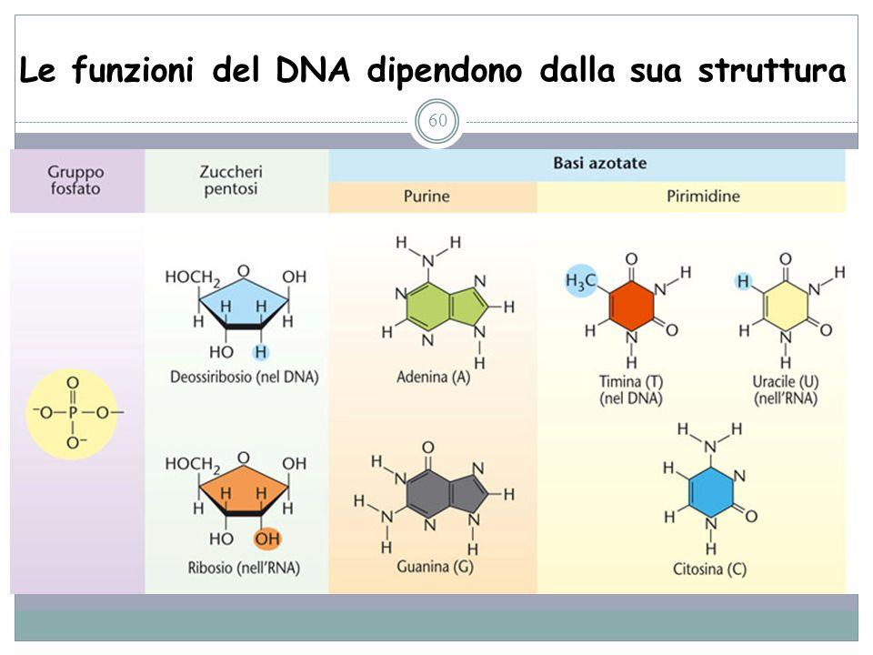 Le funzioni del DNA dipendono dalla sua struttura 60