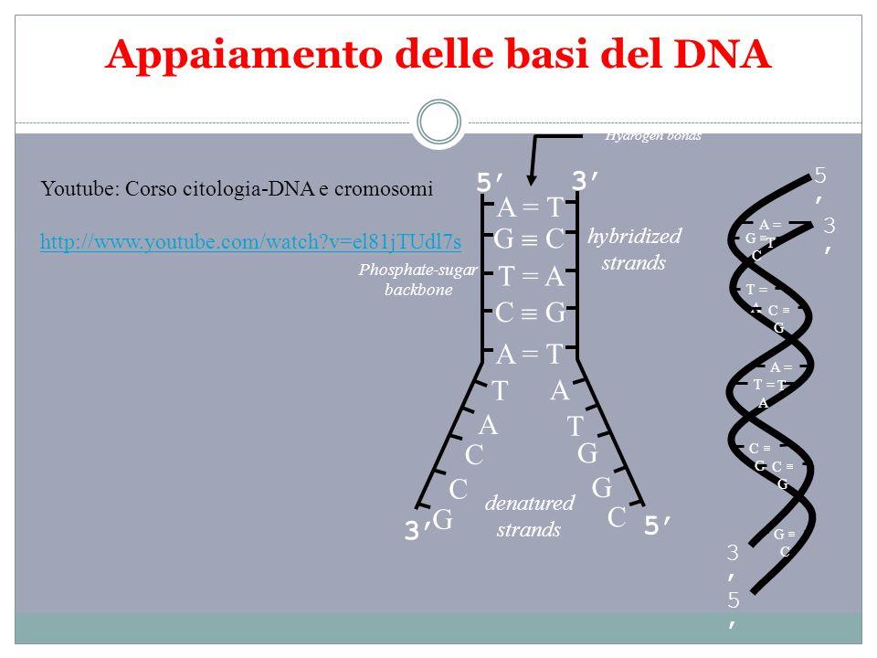 Appaiamento delle basi del DNA A = T G C T = A A = T C G T C C A G G T A G C T = A C G A = T G C 5 3 5 3 5 3 3 5 denatured strands hybridized strands