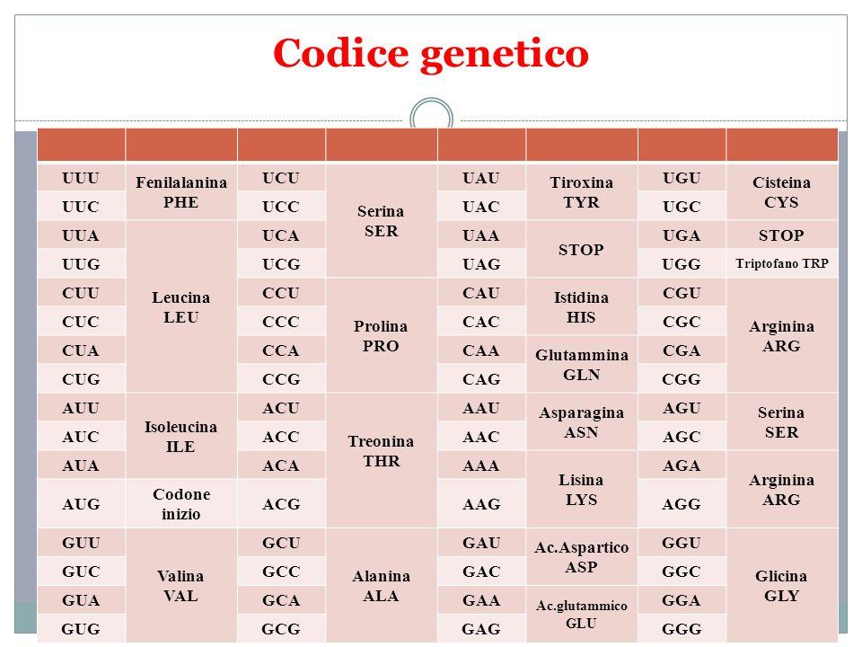 Codice genetico UUU Fenilalanina PHE UCU Serina SER UAU Tiroxina TYR UGU Cisteina CYS UUCUCCUACUGC UUA Leucina LEU UCAUAA STOP UGASTOP UUGUCGUAGUGG Tr