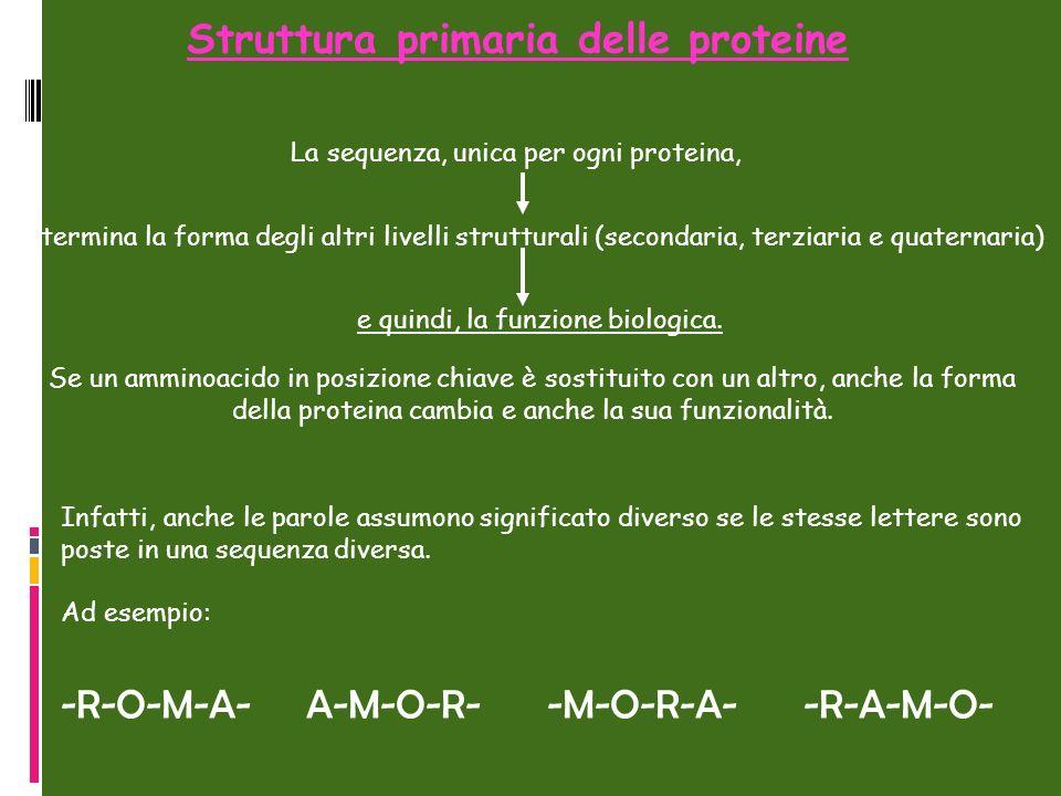 determina la forma degli altri livelli strutturali (secondaria, terziaria e quaternaria) Struttura primaria delle proteine Se un amminoacido in posizi