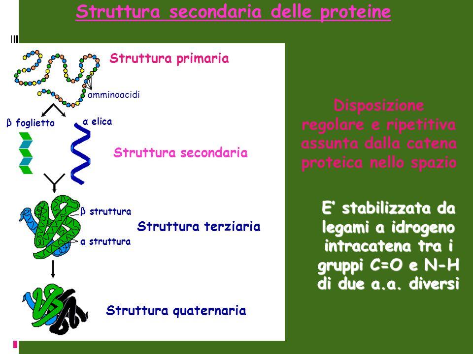 Struttura secondaria delle proteine Struttura primaria amminoacidi β foglietto α elica Struttura secondaria β struttura α struttura Struttura terziari