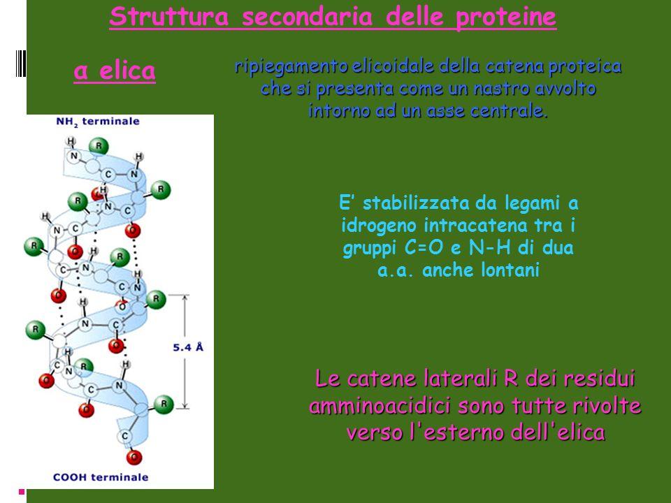 ripiegamento elicoidale della catena proteica che si presenta come un nastro avvolto intorno ad un asse centrale. Struttura secondaria delle proteine