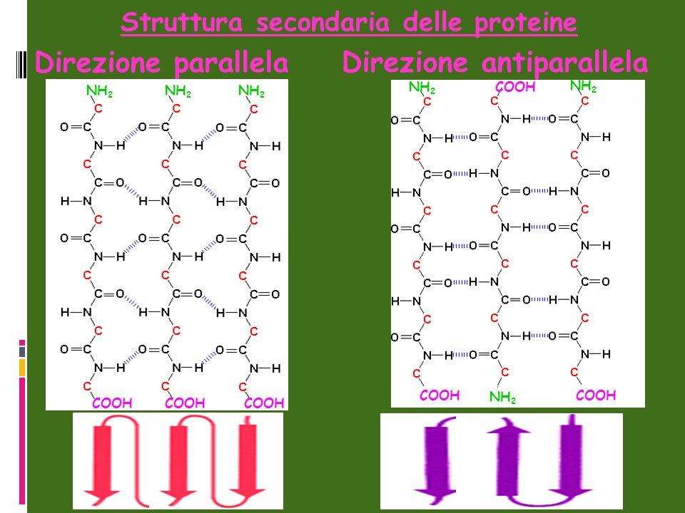 Direzione antiparallela Direzione parallela NH 2 COOH NH 2 COOH Struttura secondaria delle proteine