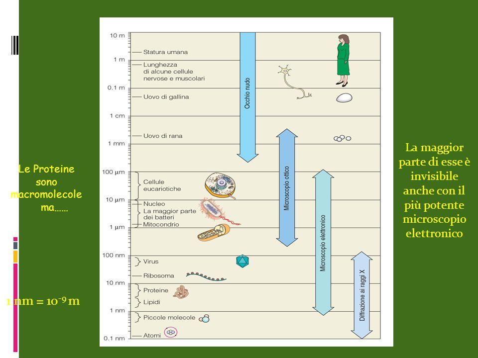 Le Proteine sono macromolecole ma…… La maggior parte di esse è invisibile anche con il più potente microscopio elettronico 1 nm = 10 -9 m