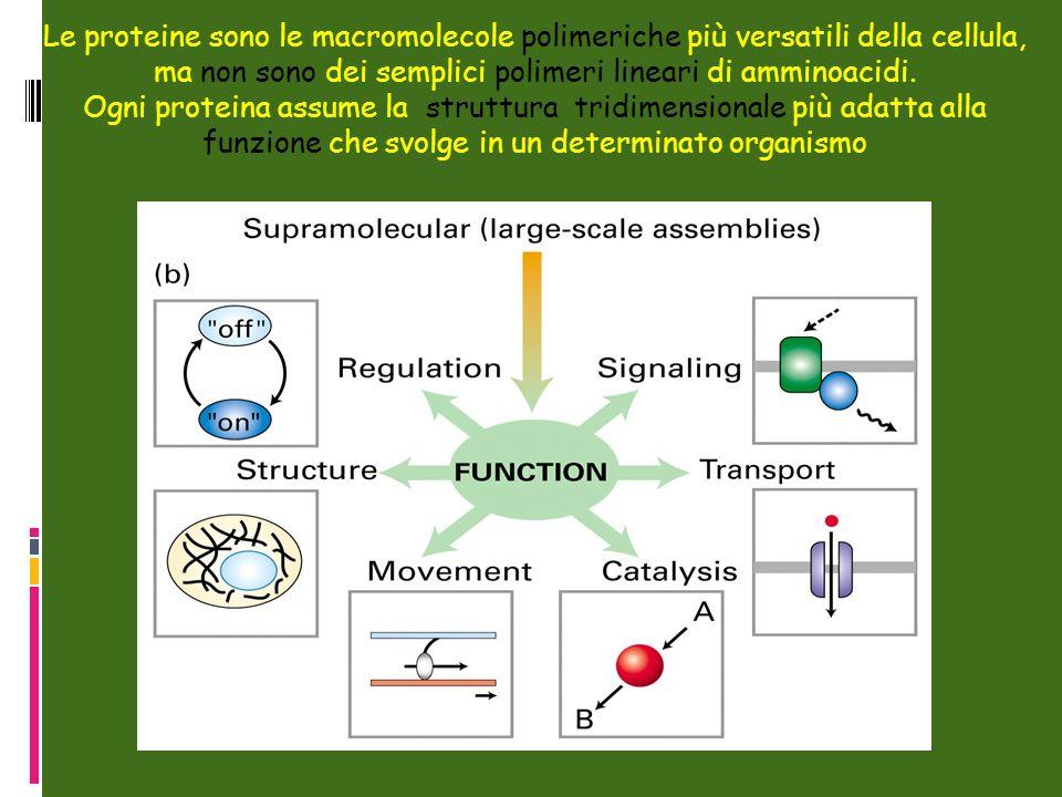 Le proteine sono le macromolecole polimeriche più versatili della cellula, ma non sono dei semplici polimeri lineari di amminoacidi. Ogni proteina ass