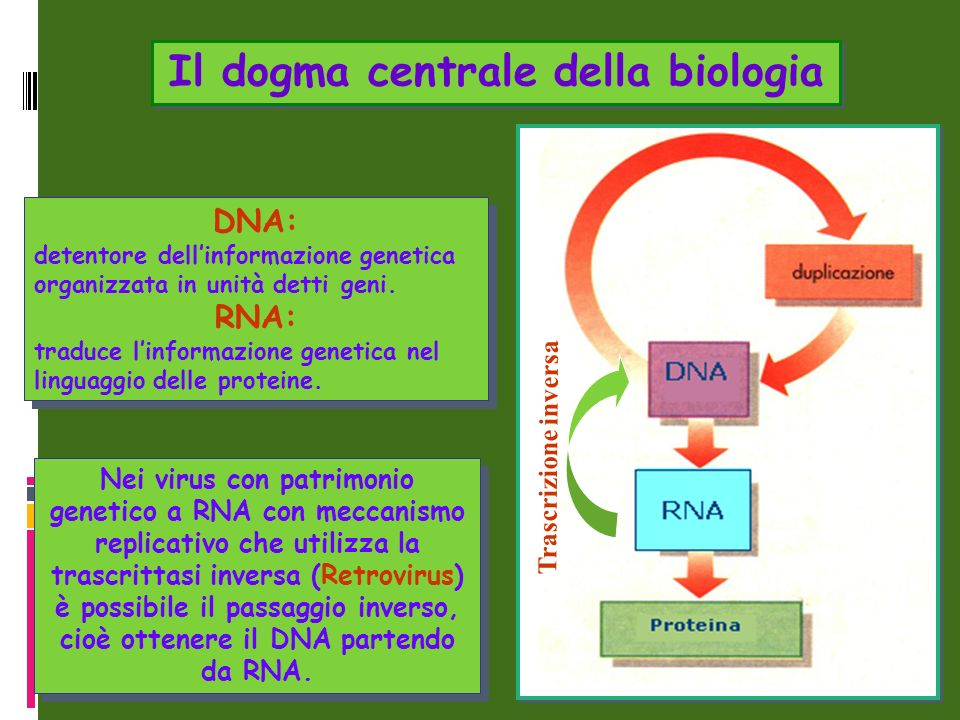 Nei virus con patrimonio genetico a RNA con meccanismo replicativo che utilizza la trascrittasi inversa (Retrovirus) è possibile il passaggio inverso,