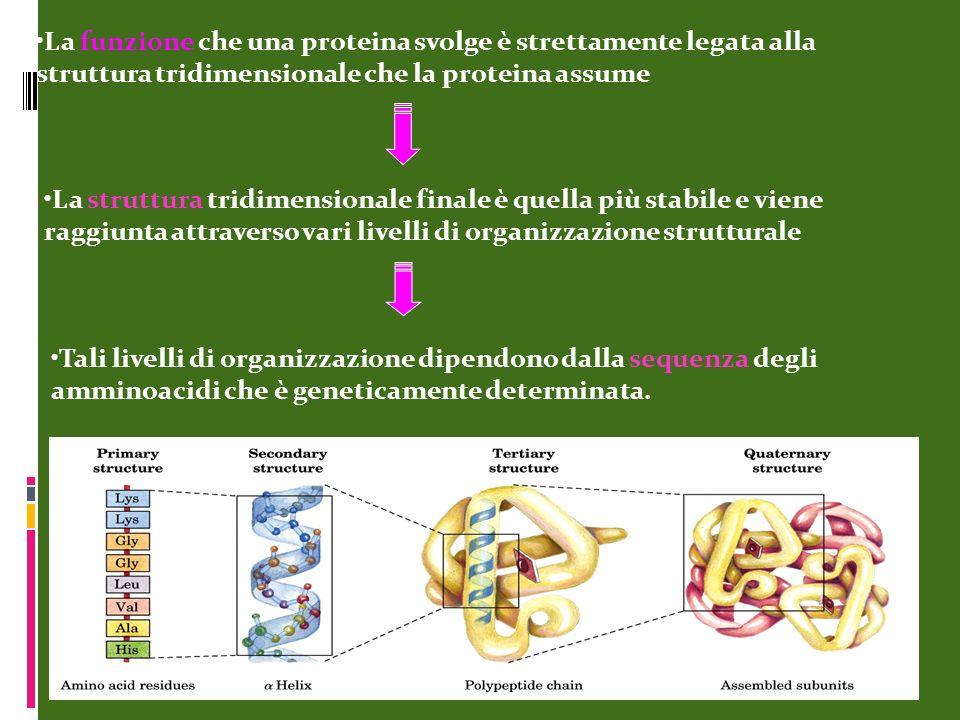 La funzione che una proteina svolge è strettamente legata alla struttura tridimensionale che la proteina assume Tali livelli di organizzazione dipendo