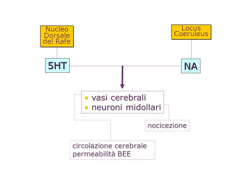 nocicezione Nucleo Dorsale del Rafe vasi cerebrali vasi cerebrali neuroni midollari neuroni midollari NA 5HT circolazione cerebrale permeabilità BEE L