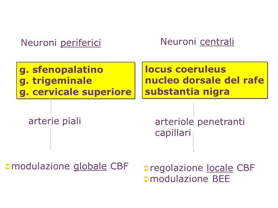 modulazione globale CBF arterie piali g. sfenopalatino g. trigeminale g. cervicale superiore Neuroni periferici locus coeruleus nucleo dorsale del raf