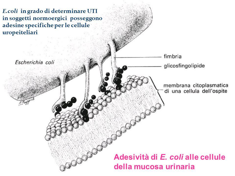 Adesività di E. coli alle cellule della mucosa urinaria E.coli in grado di determinare UTI in soggetti normoergici posseggono adesine specifiche per l