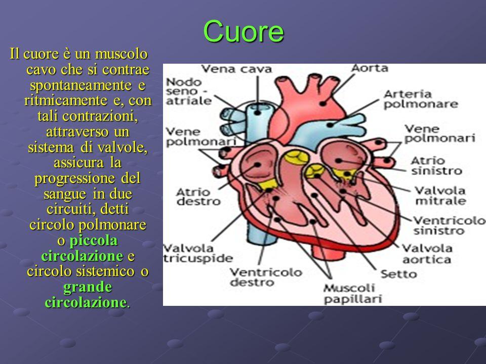 Cuore Il cuore è un muscolo cavo che si contrae spontaneamente e ritmicamente e, con tali contrazioni, attraverso un sistema di valvole, assicura la p