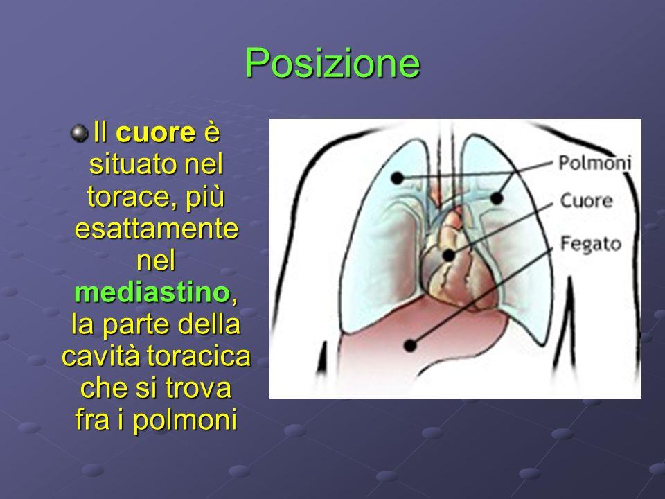 Posizione Il cuore è situato nel torace, più esattamente nel mediastino, la parte della cavità toracica che si trova fra i polmoni