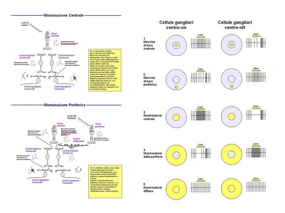 Canali di registrazione (consigliati 3): O1-Fpz, Oz-Fpz, O2-Fpz Banda passante: 1-100 Hz (o più); non usare filtri notch Tempo di analisi: 250-500 ms Tracce da acquisire: due serie di almeno 64 tracce mediate (consigliate 100) parametri di registrazione 2