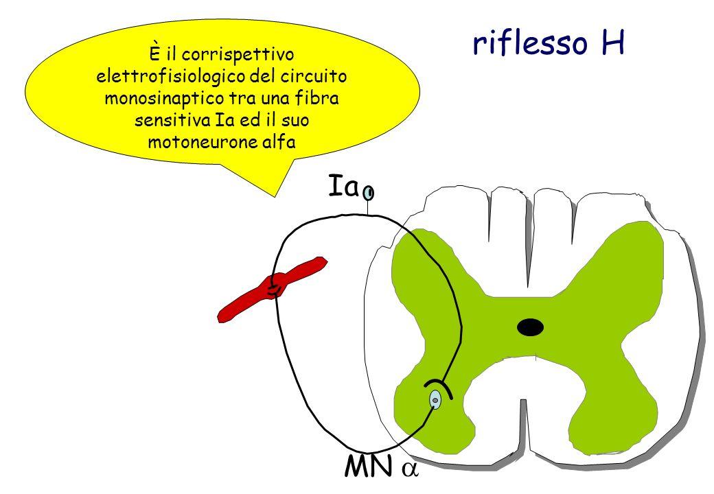 riflesso H È il corrispettivo elettrofisiologico del circuito monosinaptico tra una fibra sensitiva Ia ed il suo motoneurone alfa Ia MN
