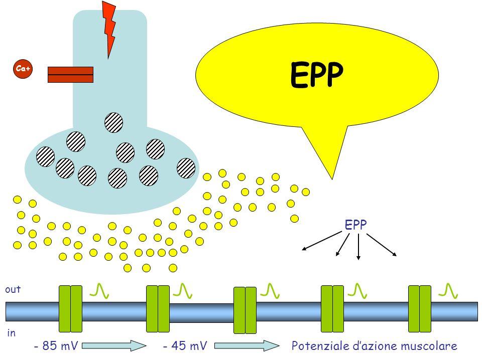 out in - 85 mV Ca+ - 45 mVPotenziale dazione muscolare EPP
