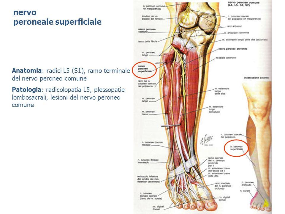 nervo peroneale superficiale Anatomia: radici L5 (S1), ramo terminale del nervo peroneo comune Patologia: radicolopatia L5, plessopatie lombosacrali,