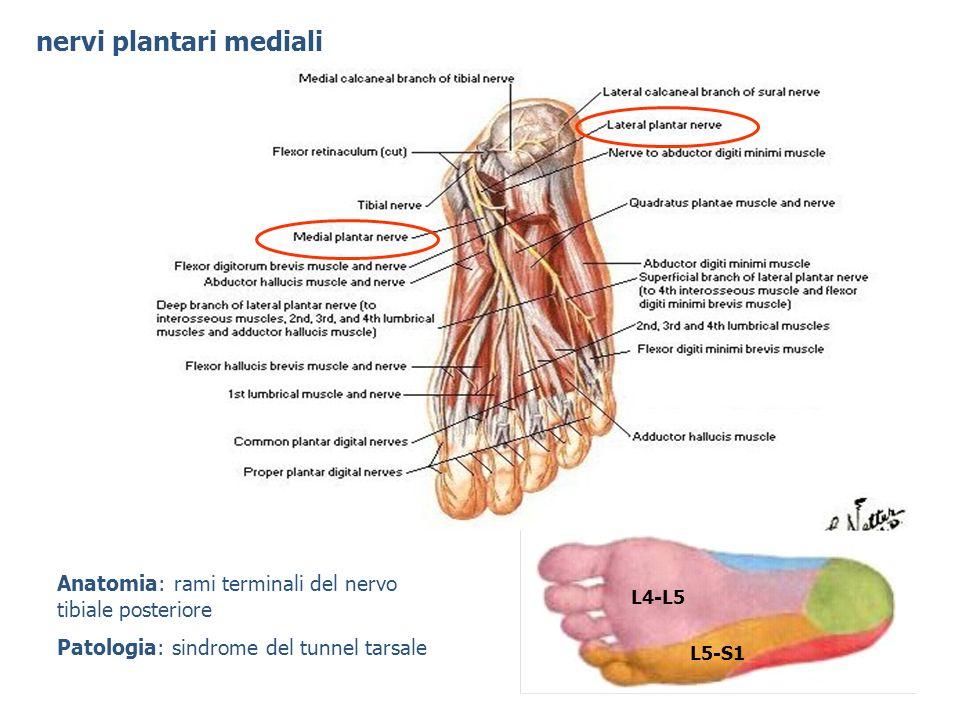 nervi plantari mediali L4-L5 L5-S1 Anatomia: rami terminali del nervo tibiale posteriore Patologia: sindrome del tunnel tarsale