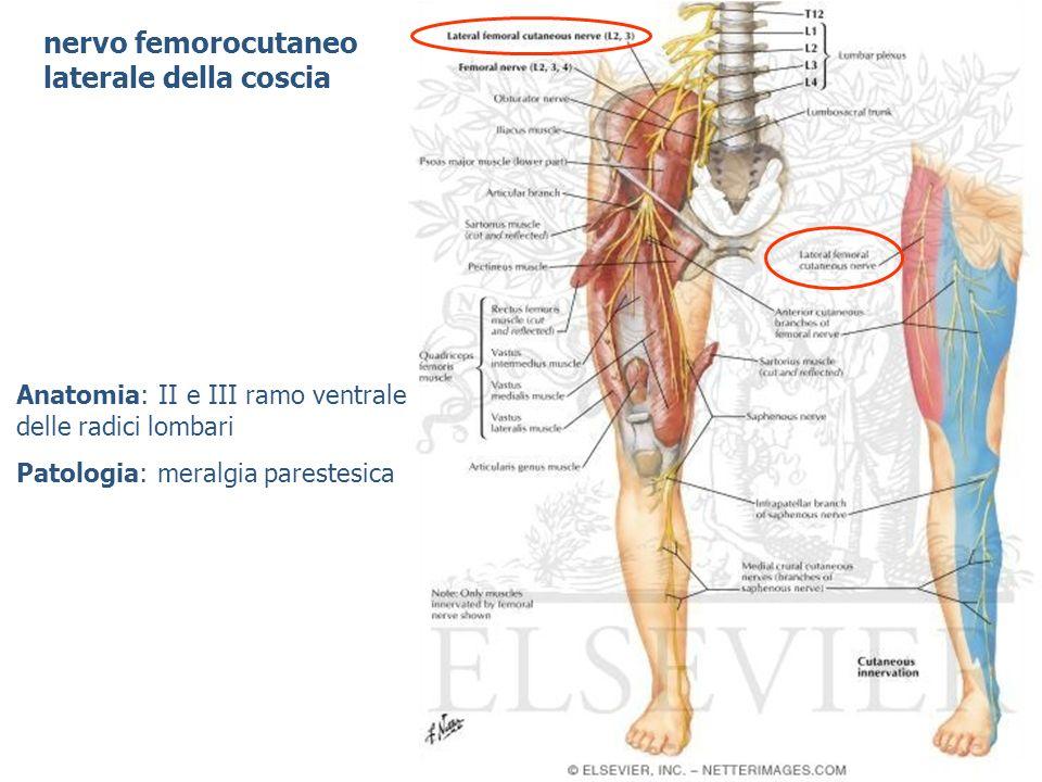 nervo femorocutaneo laterale della coscia Anatomia: II e III ramo ventrale delle radici lombari Patologia: meralgia parestesica