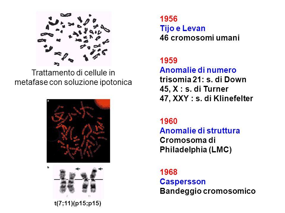 1956 Tijo e Levan 46 cromosomi umani 1959 Anomalie di numero trisomia 21: s. di Down 45, X : s. di Turner 47, XXY : s. di Klinefelter 1960 Anomalie di