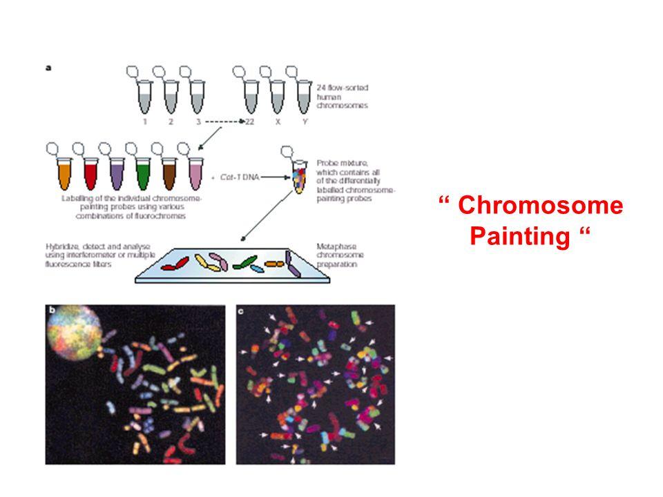 Chromosome Painting