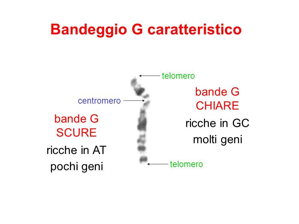 telomero centromero Bandeggio G caratteristico bande G CHIARE ricche in GC molti geni bande G SCURE ricche in AT pochi geni