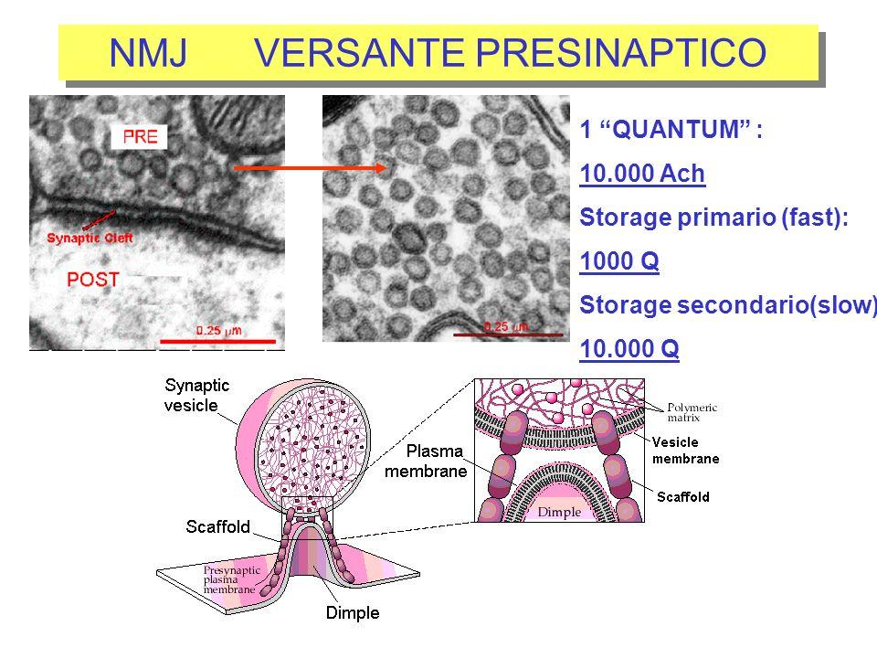 NMJ VERSANTE PRESINAPTICO 1 QUANTUM : 10.000 Ach Storage primario (fast): 1000 Q Storage secondario(slow): 10.000 Q