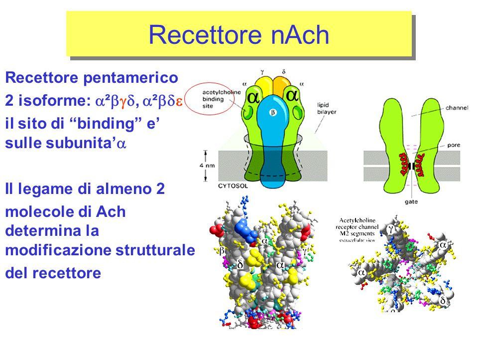 Recettore pentamerico 2 isoforme: ², ² il sito di binding e sulle subunita Il legame di almeno 2 molecole di Ach determina la modificazione strutturale del recettore Recettore nAch