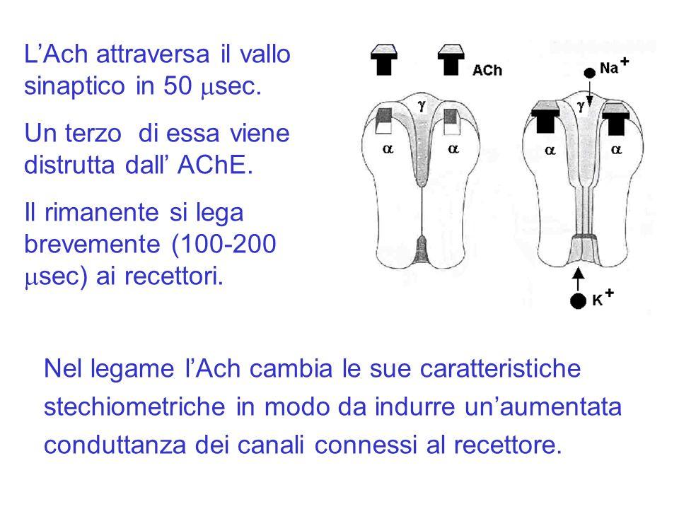 Nel legame lAch cambia le sue caratteristiche stechiometriche in modo da indurre unaumentata conduttanza dei canali connessi al recettore.