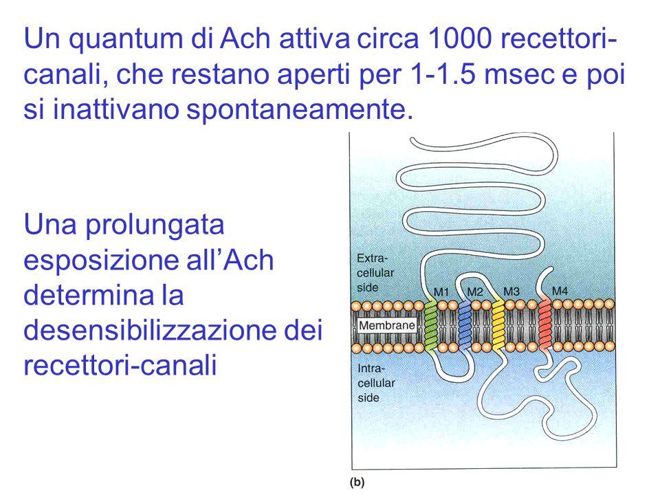 Una prolungata esposizione allAch determina la desensibilizzazione dei recettori-canali Un quantum di Ach attiva circa 1000 recettori- canali, che res