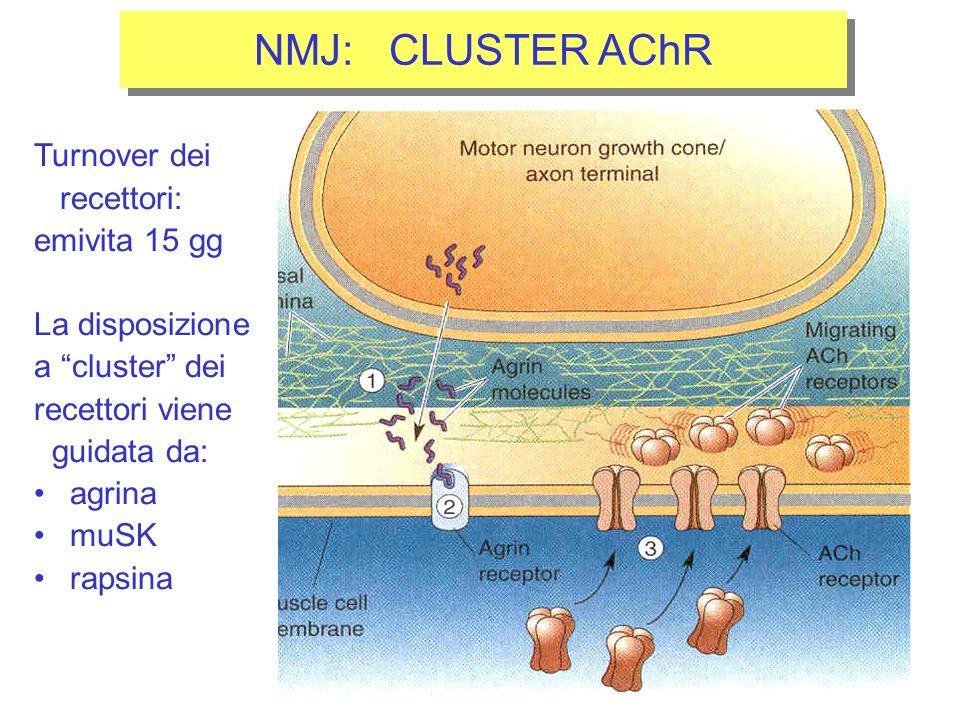 NMJ: CLUSTER AChR Turnover dei recettori: emivita 15 gg La disposizione a cluster dei recettori viene guidata da: agrina muSK rapsina