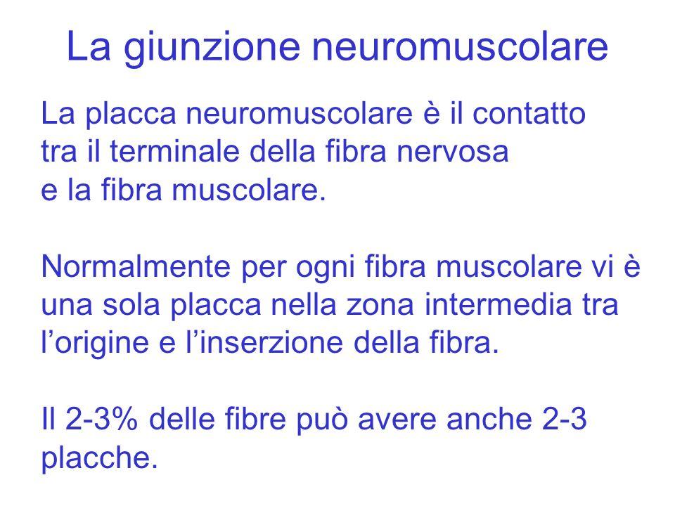 La giunzione neuromuscolare La placca neuromuscolare è il contatto tra il terminale della fibra nervosa e la fibra muscolare. Normalmente per ogni fib