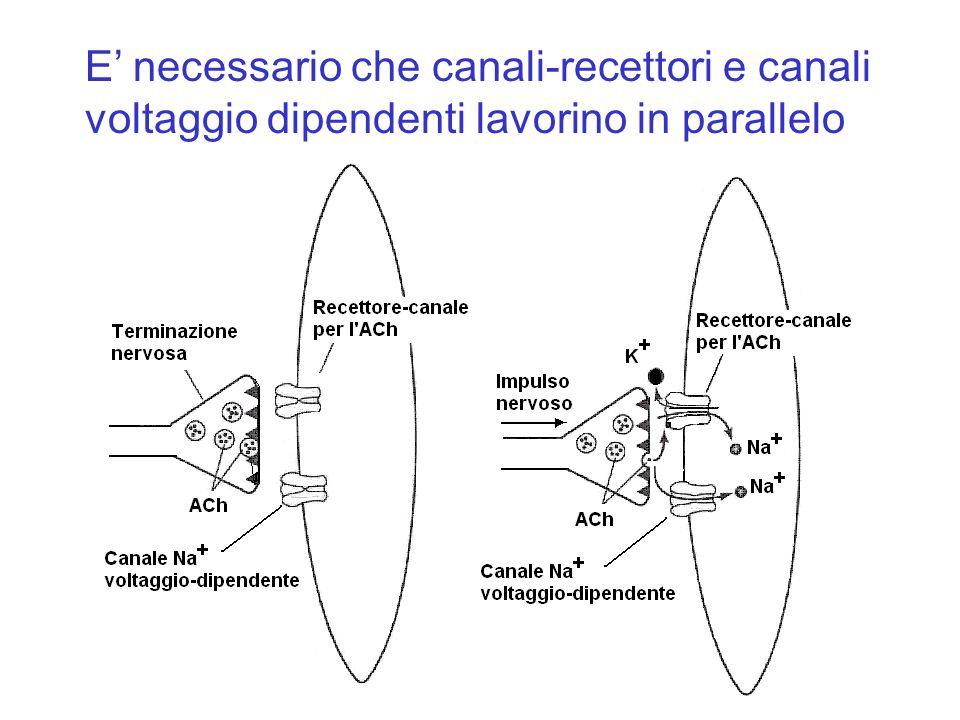 E necessario che canali-recettori e canali voltaggio dipendenti lavorino in parallelo