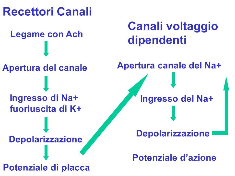 Recettori Canali Canali voltaggio dipendenti Legame con Ach Apertura del canale Ingresso di Na+ fuoriuscita di K+ Potenziale di placca Apertura canale del Na+ Ingresso del Na+ Depolarizzazione Potenziale dazione Depolarizzazione