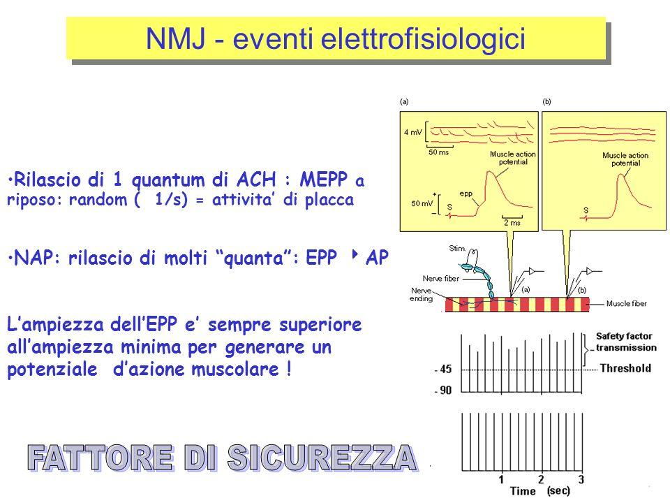 NMJ - eventi elettrofisiologici Rilascio di 1 quantum di ACH : MEPP a riposo: random ( 1/s) = attivita di placca NAP: rilascio di molti quanta: EPP AP Lampiezza dellEPP e sempre superiore allampiezza minima per generare un potenziale dazione muscolare !