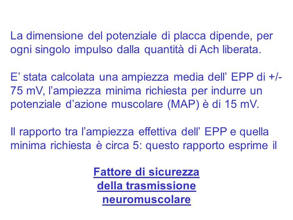 La dimensione del potenziale di placca dipende, per ogni singolo impulso dalla quantità di Ach liberata. E stata calcolata una ampiezza media dell EPP