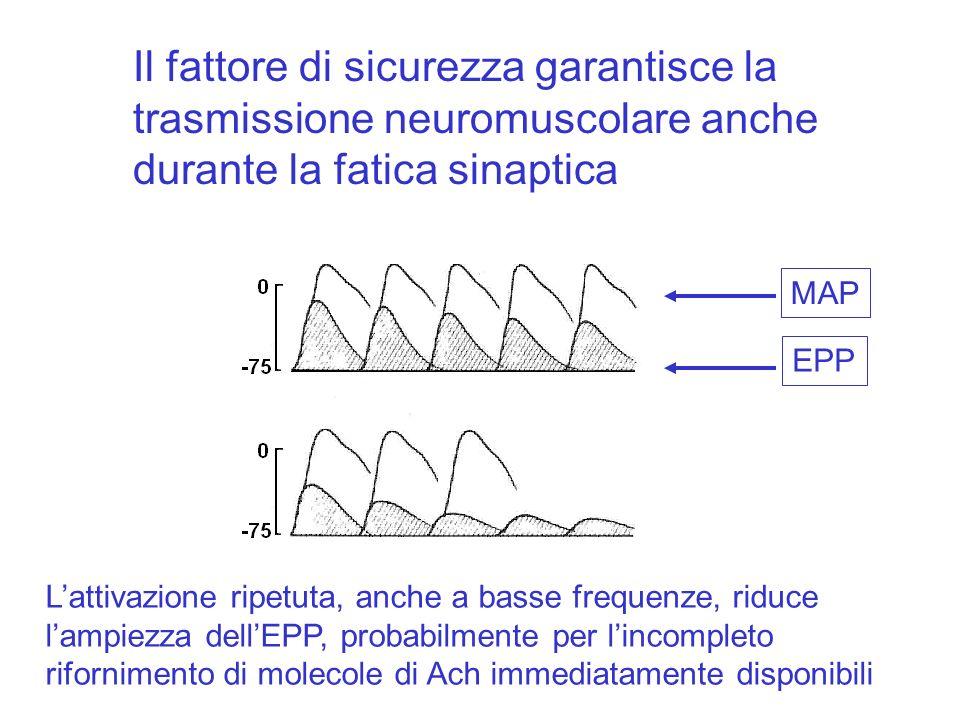Il fattore di sicurezza garantisce la trasmissione neuromuscolare anche durante la fatica sinaptica Lattivazione ripetuta, anche a basse frequenze, riduce lampiezza dellEPP, probabilmente per lincompleto rifornimento di molecole di Ach immediatamente disponibili MAP EPP