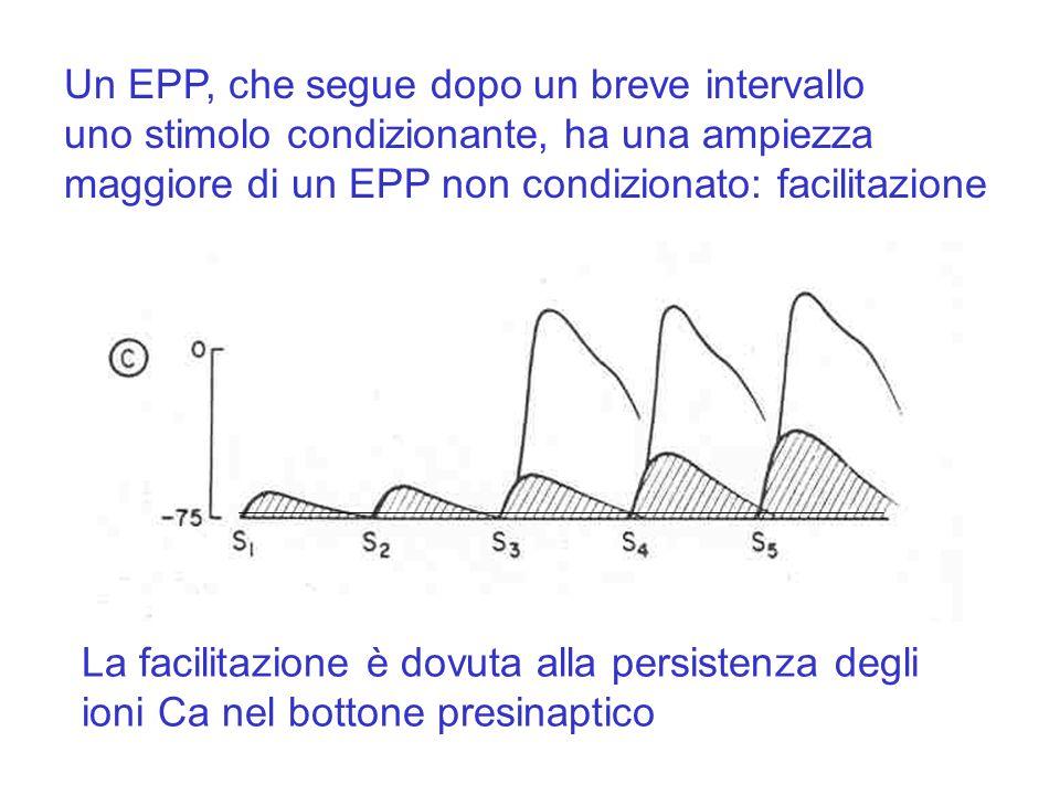 Un EPP, che segue dopo un breve intervallo uno stimolo condizionante, ha una ampiezza maggiore di un EPP non condizionato: facilitazione La facilitazione è dovuta alla persistenza degli ioni Ca nel bottone presinaptico