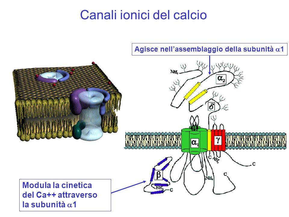 Canali ionici del calcio Modula la cinetica del Ca++ attraverso la subunità 1 Agisce nellassemblaggio della subunità 1