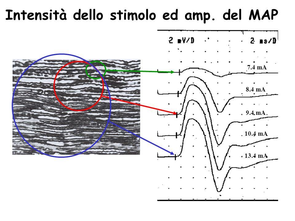 Intensità dello stimolo ed amp. del MAP 7.4 mA 8.4 mA 9.4 mA 10.4 mA 13.4 mA