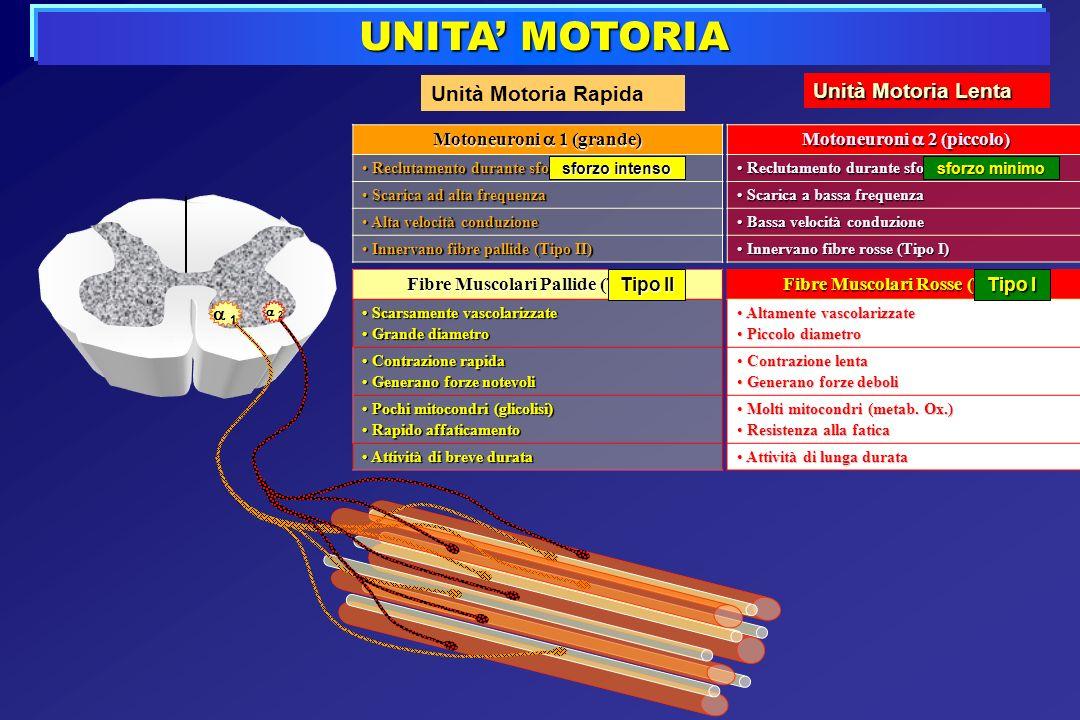 UNITA MOTORIA Unità Motoria Rapida Fibre Muscolari Pallide (Tipo II) Scarsamente vascolarizzate Scarsamente vascolarizzate Grande diametro Grande diam