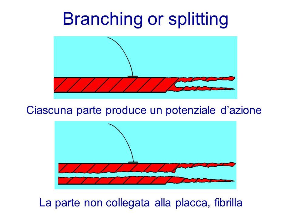 Branching or splitting Ciascuna parte produce un potenziale dazione La parte non collegata alla placca, fibrilla