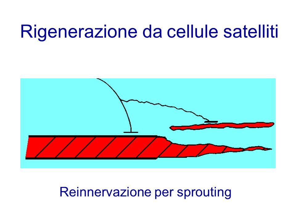 Rigenerazione da cellule satelliti Reinnervazione per sprouting