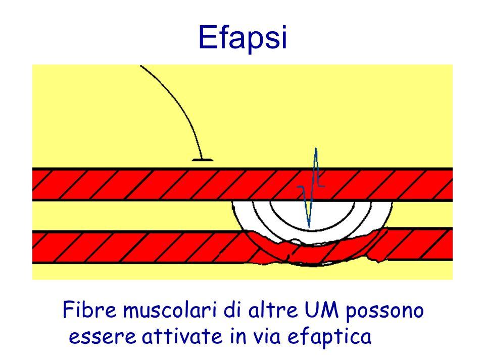 Efapsi Fibre muscolari di altre UM possono essere attivate in via efaptica