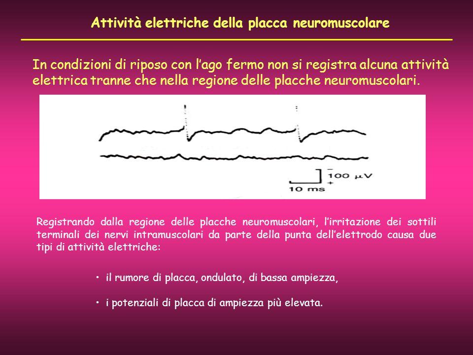 Attività elettriche della placca neuromuscolare In condizioni di riposo con lago fermo non si registra alcuna attività elettrica tranne che nella regi